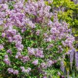 Lilac Josee