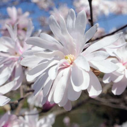 Magnolia Waterlily Pplmagwli - Garden Express Australia