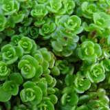 Sedum Green Mound Pplsedgmd - Garden Express Australia