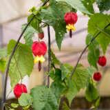 Trailing Abutilon Lpotraabu - Garden Express Australia
