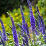 Veronica Blue Shades Pplverbsa - Garden Express Australia