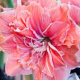 Sweet Nymph Pkhipsny - Garden Express Australia