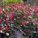 Acmena Smithii Purple Rain Pplacmpra - Garden Express Australia