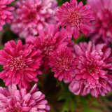 Argyranthemum Pom Pom Pplargppo - Garden Express Australia