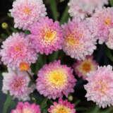 Argyranthemum Sunrise Pink Pplargspi - Garden Express Australia