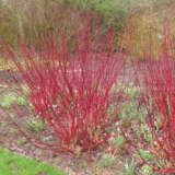 Cornus Red Stem Dogwood Pplcorrsd - Garden Express Australia