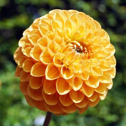 Dahlia Honeycomb Pkdahhon - Garden Express Australia