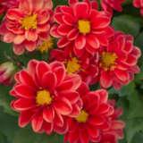 Dahlia Imagine Mini Red Ppldahimr - Garden Express Australia