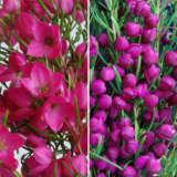 Gurus Boronia Duo Colgurbor - Garden Express Australia