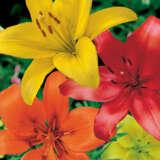 Lilium Red Yellow Orange Blend Pklilryo - Garden Express Australia
