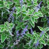 Plectranthus Blue Spires Lpoplebsp - Garden Express Australia