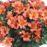 Princess Lily Eliane Orange Pplpliero - Garden Express Australia