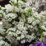 Sea Lavender White Star Pplslawst - Garden Express Australia