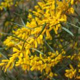 Acacia Floribunda Pplacaflo - Garden Express Australia