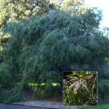 Agonis Flexuosa Pplagofle - Garden Express Australia