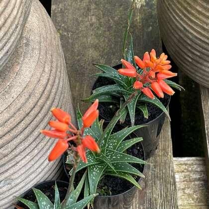Aloe Firebird Pplalofir - Garden Express Australia