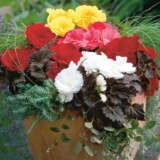 Begonia Mocca Mixed Pkbegmmx - Garden Express Australia
