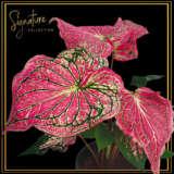 Caladium 'Thai Beauty' Signature collection - Garden Express Australia