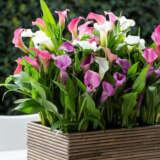 Calla Lily Pot Mixed Pkcalpmx - Garden Express Australia