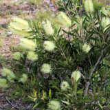 Callistemon Pallidus Lpocallpal - Garden Express Australia