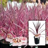 Cordyline Pinkpassion - Garden Express Australia