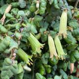 Correa Reflexa Nummulariifoliapplcorrnu - Garden Express Australia