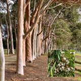 Corymbia Citriodora Pplcorcit - Garden Express Australia