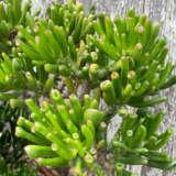 Crassula Gollum Pplcragol - Garden Express Australia