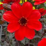 Dahlia Mystic Enchantment Ppldahmen - Garden Express Australia