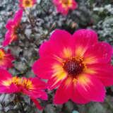 Dahlia Mystic Sparkler 21 Ppldahmsp - Garden Express Australia