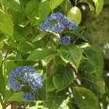 Dichroa Evergreen Hydrangea 21 Ppldicver - Garden Express Australia