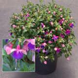 Fuchsia Fuchsita Pink Blue Pplfucfpb - Garden Express Australia