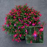 Fuchsia Fuchsita Rose Blue 21 Pplfucfrb - Garden Express Australia