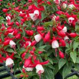 Fuchsia Fuchsita Scarlet White Pplfucswt - Garden Express Australia