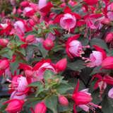 Fuchsia Fuchsita Special Red Lavender Pplfucrla - Garden Express Australia