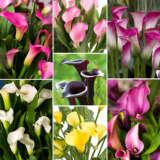 Gurus Calla Collection - Garden Express Australia