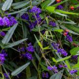 Hardenbergia Purple Pplharpur - Garden Express Australia
