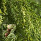 Himalayan Cedar Pplhimced - Garden Express Australia