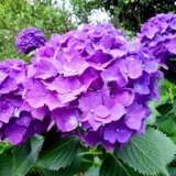 Hydrangea Oregon Pride Lpohydopr - Garden Express Australia