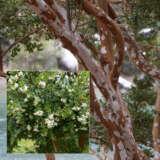 Luma Apiculata Ppllumapi - Garden Express Australia