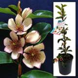 Magnolia Princesscleopatra - Garden Express Australia