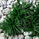 Mondo Grass Green Pplmongre - Garden Express Australia