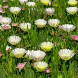 Native Pigface White Hot Pplnatpfw - Garden Express Australia