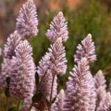 Ptilotus Platinum Pplptipla - Garden Express Australia