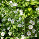 Solanum Potato Vine White 21 Pplsolpvw - Garden Express Australia