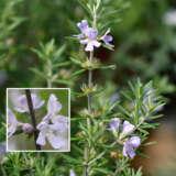 Westringia Glabra Lpowesgla - Garden Express Australia