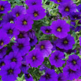 Calibrachoa Cruze Control Dark Blue Pplcalcdb - Garden Express Australia
