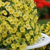 Calibrachoa Cruze Control Lemon Pplcalcle - Garden Express Australia