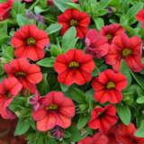Calibrachoa Cruze Control Red 21 Pplcalcre - Garden Express Australia