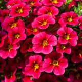 Calibrachoa Cruze Control Rose Pplcalcro - Garden Express Australia